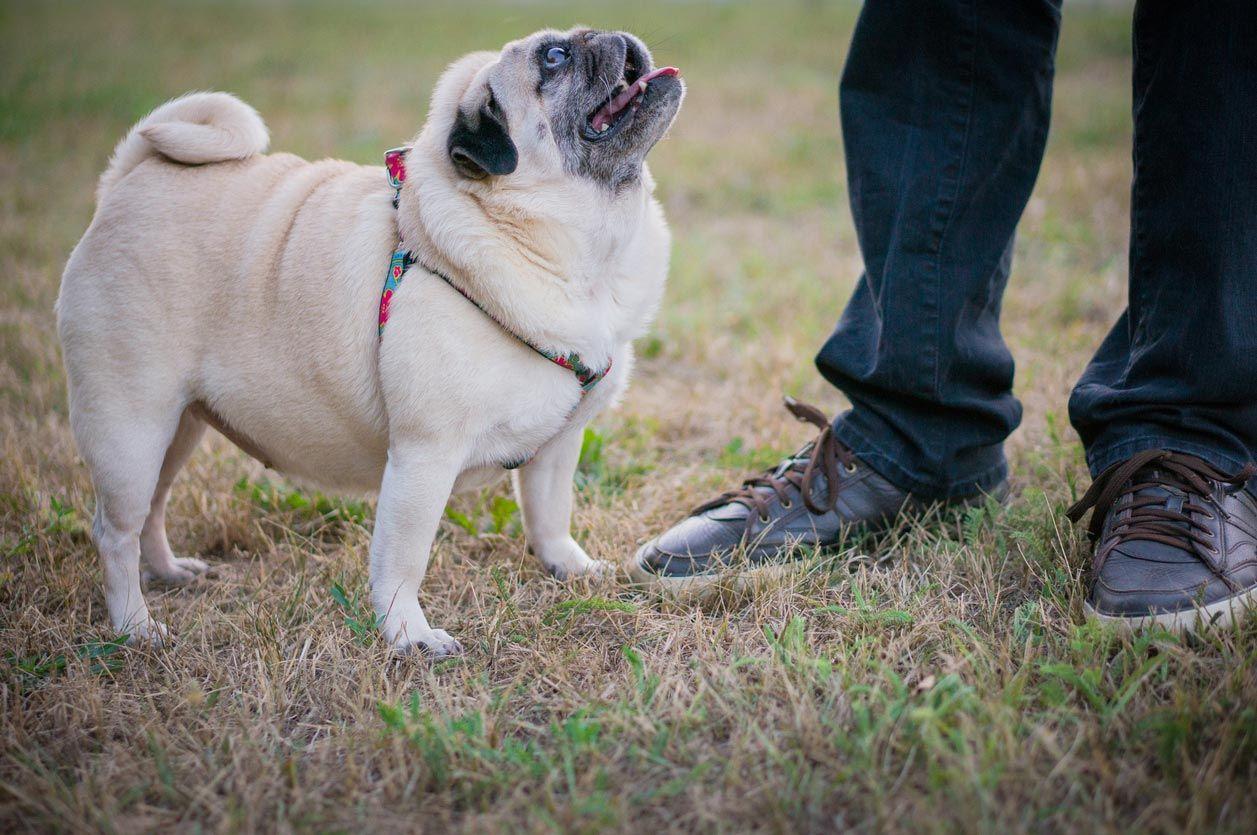 Perros con sobrepeso.