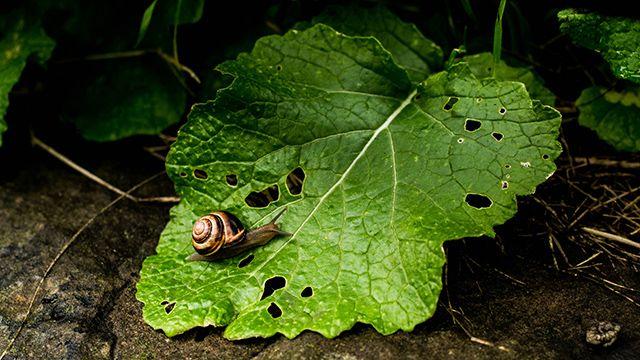 Mordeduras de caracoles en las hojas