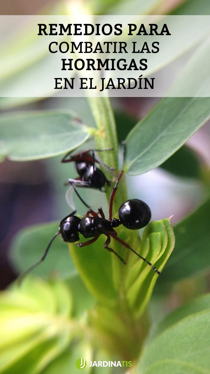 Remedios para combatir las hormigas del jardín