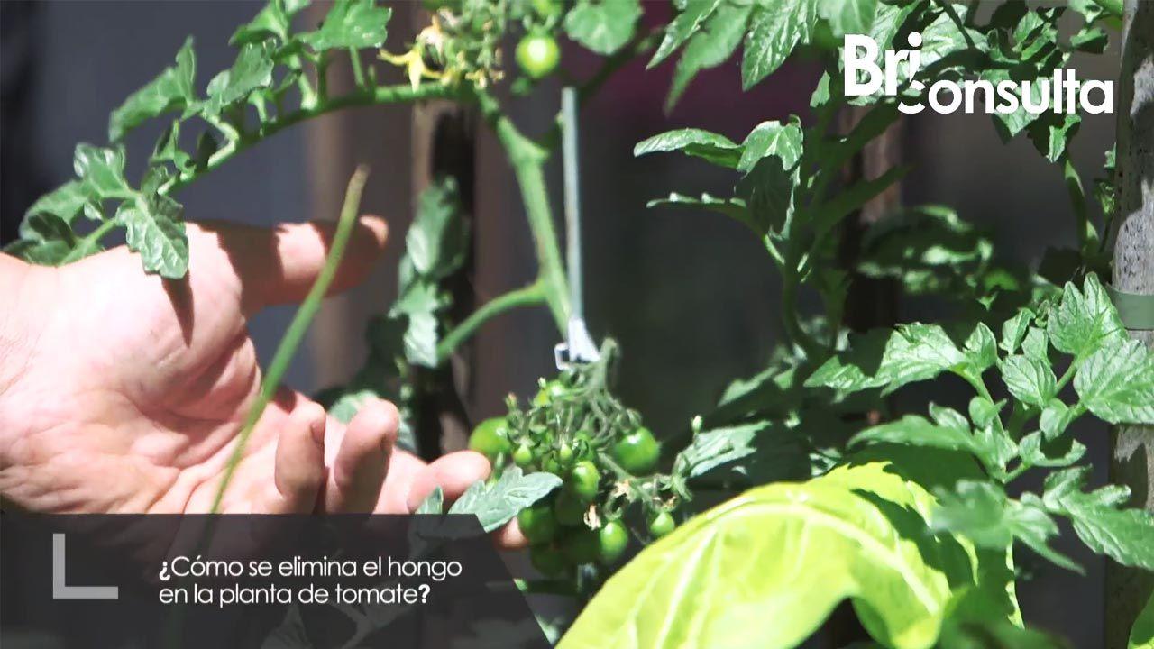 ¿Cómo se elimina el hongo de la planta del tomate?