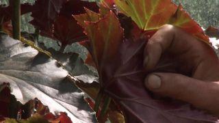 """Begonia superba """"Irene nuss"""", características y reproducción"""