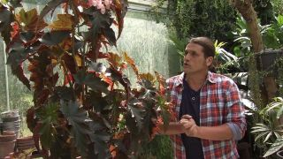 begonia superba irene nuss