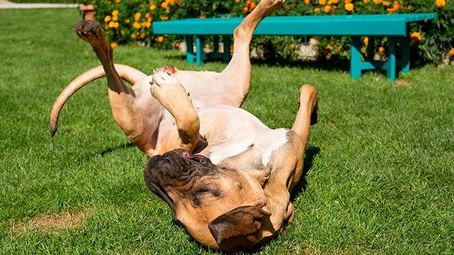 Perro grande revolcándose feliz por el césped