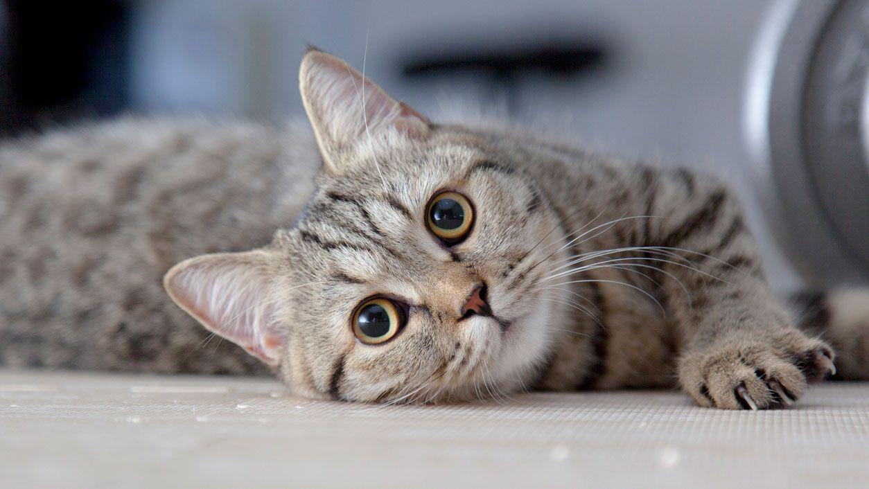 Comunicación felina: Las orejas - Hogarmania
