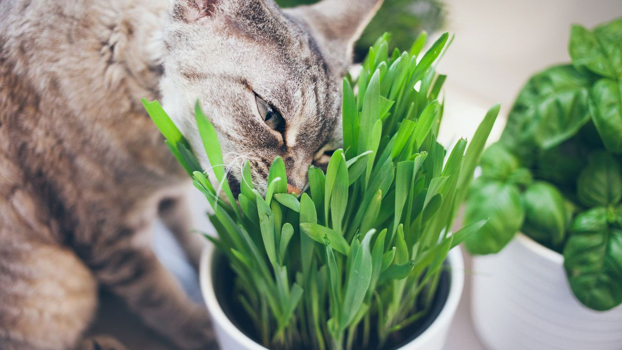 gato-comiendo-hierba
