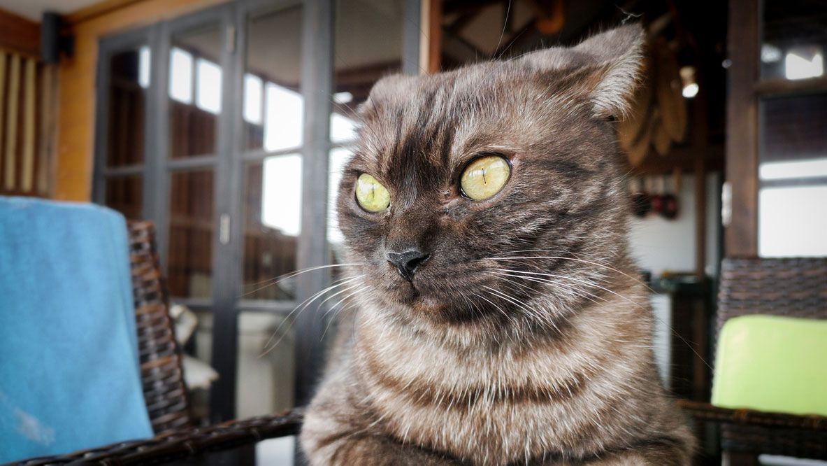 Comunicación felina: Las orejas
