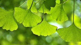10 plantas para mejorar la circulación de la sangre - Ginkgo