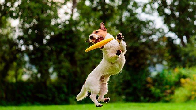 Perro jugando con su frisbee