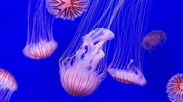 medusa-rosa