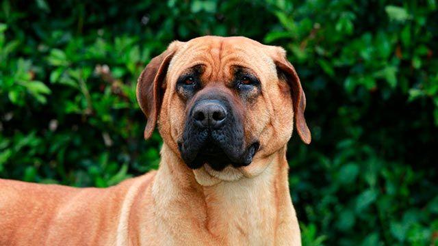 Perro Tosa Inu mirando de frente