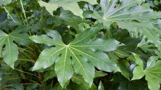 Aralia, planta fuerte y resistente