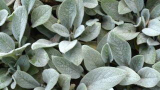 Cómo crear un arriete de plantas vivaces