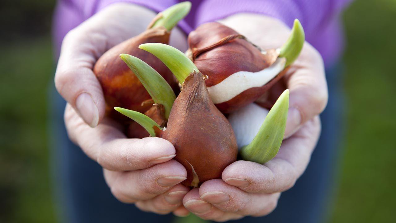 Calendario de siembra de los bulbos de tulipanes