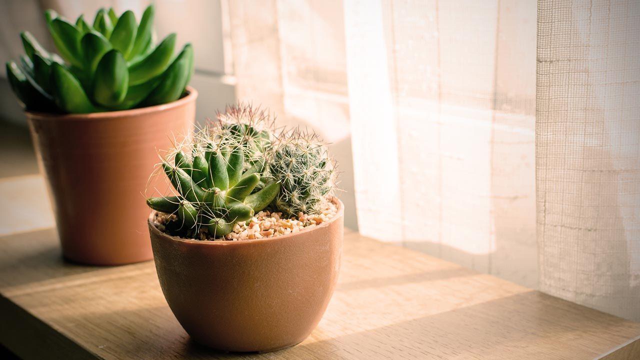 Iluminación de las plantas crasas