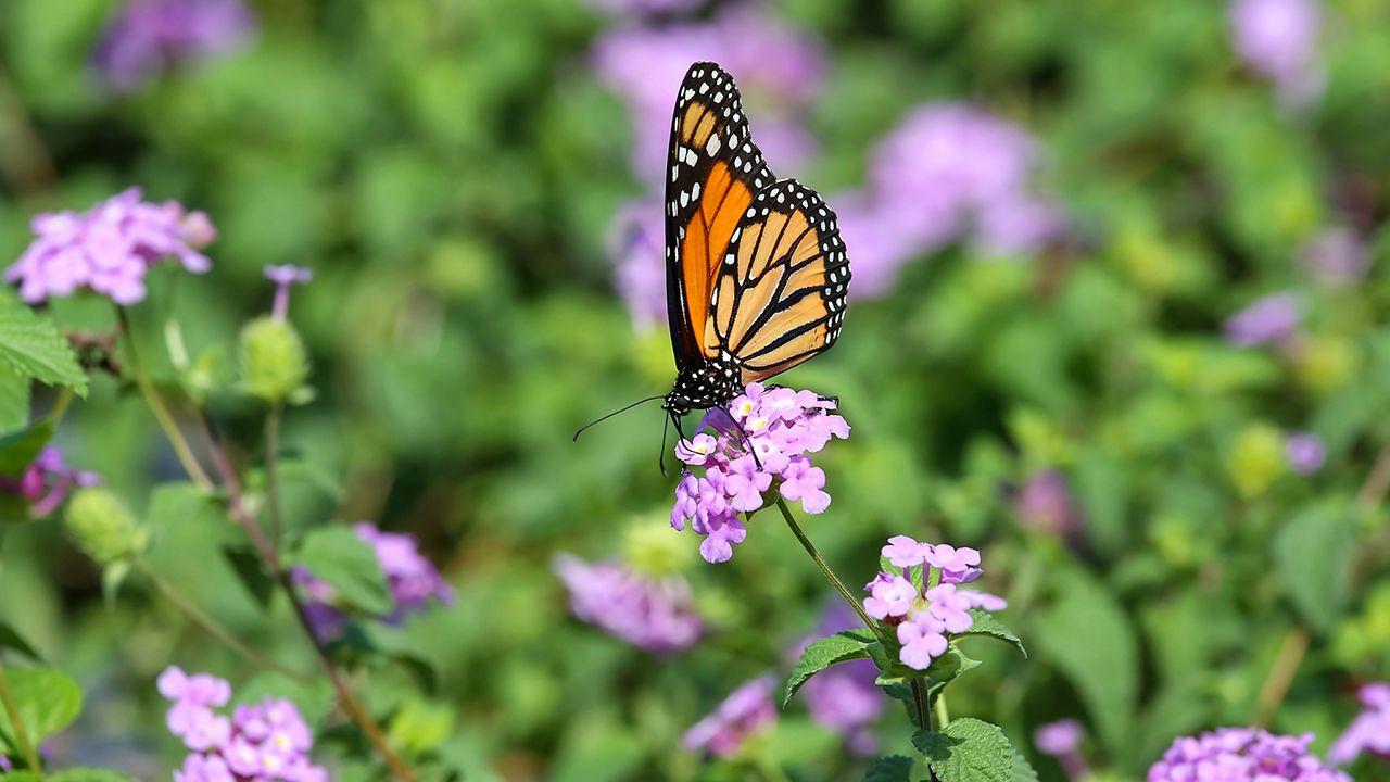 Plantas que atraen a las mariposas