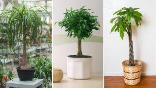 Plantas de interior con tallo decorativo