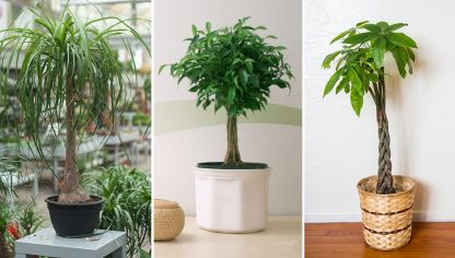 Plantas de interior con tallo decorativo