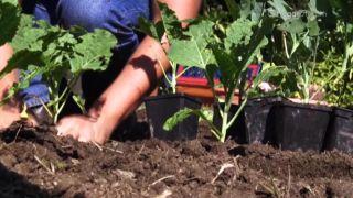 Plantar berzas y coles