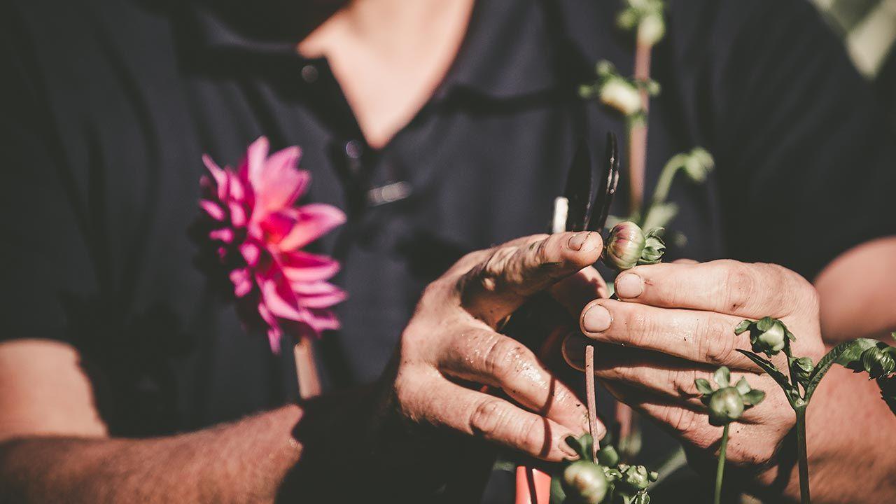 descabezado floral de las dalias
