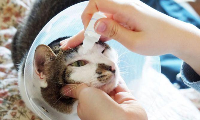 Conjuntivitis felina remedios caseros