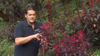 Amaranto, variedades y reproducción