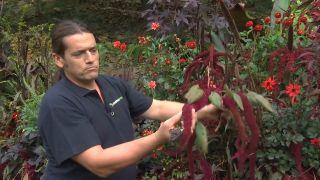 Amaranto, variedades, reproducción y composición floral