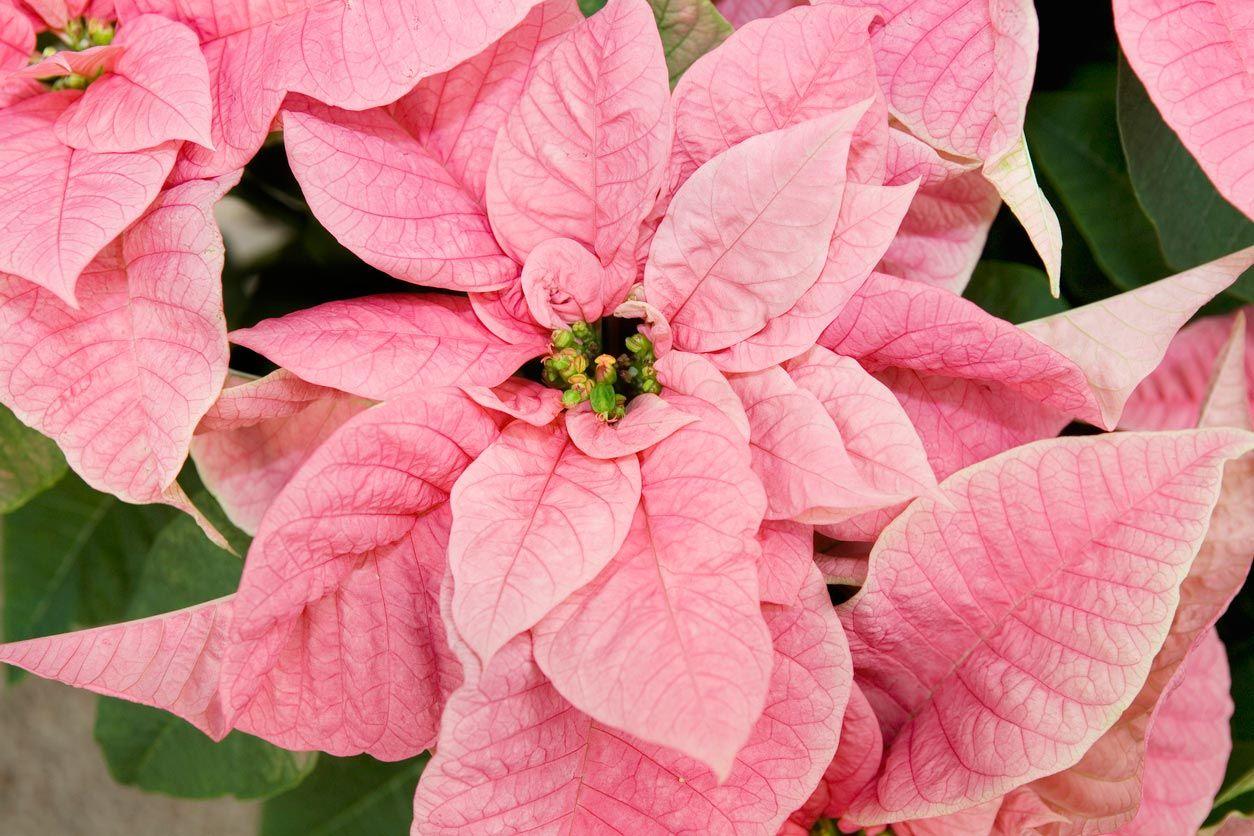 Princettia, la flor de Pascua rosa.
