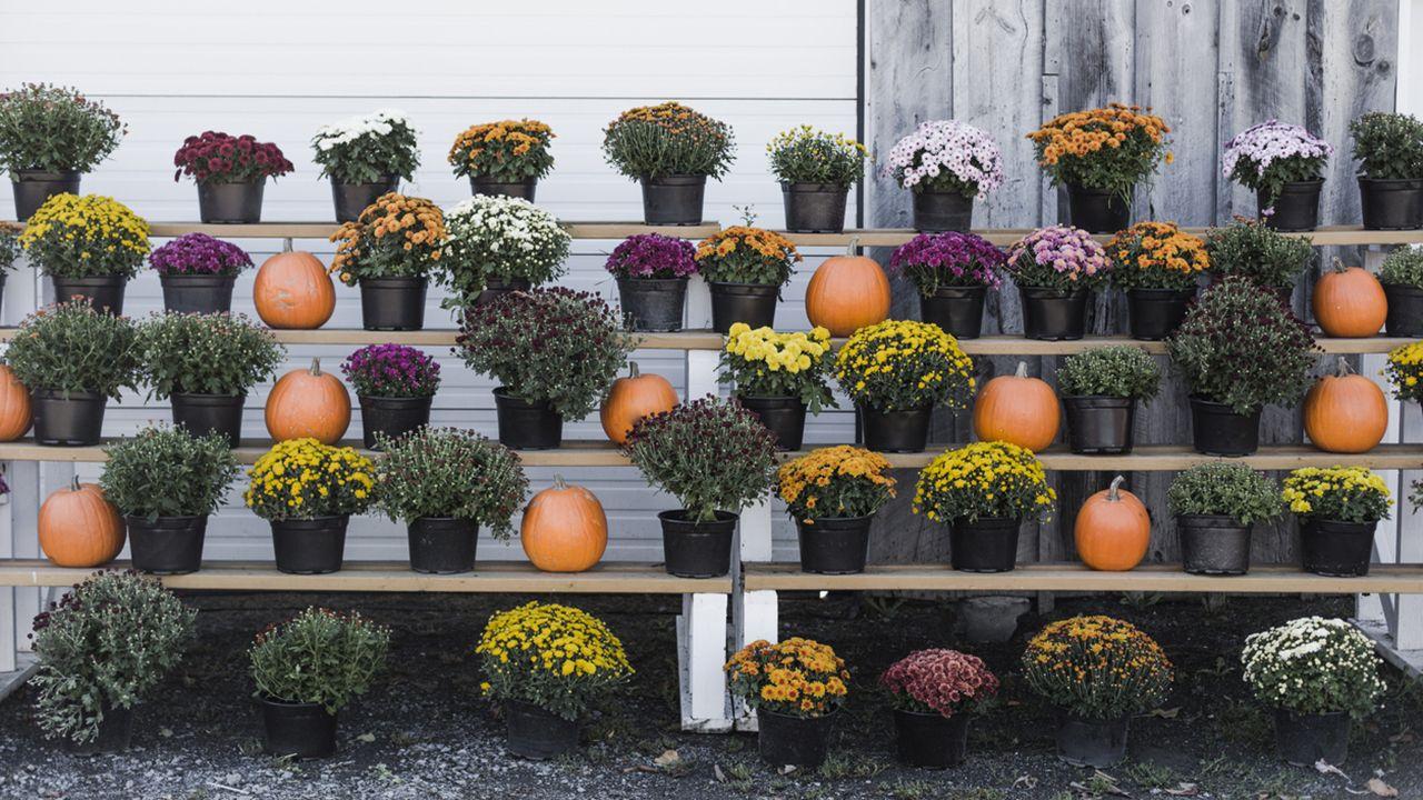 estantería exterior con crisantemos y calabazas