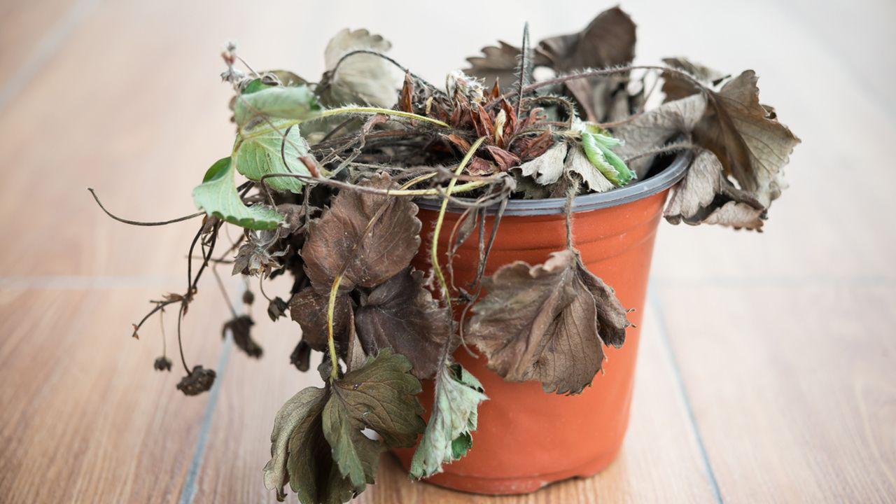 Falta de humedad en las plantas