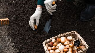 plantar-bulbos-en-otono-xl