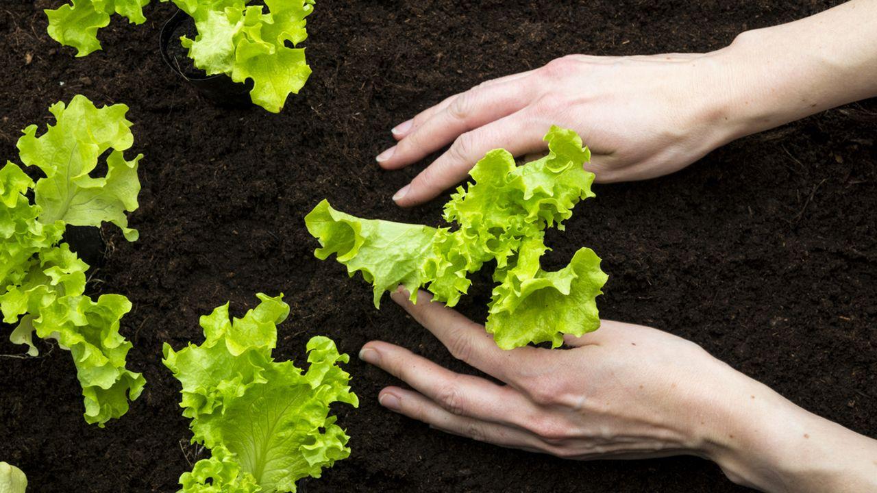 Plantar lechugas en la huerta