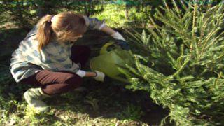 Cuidado y replantado del árbol de Navidad