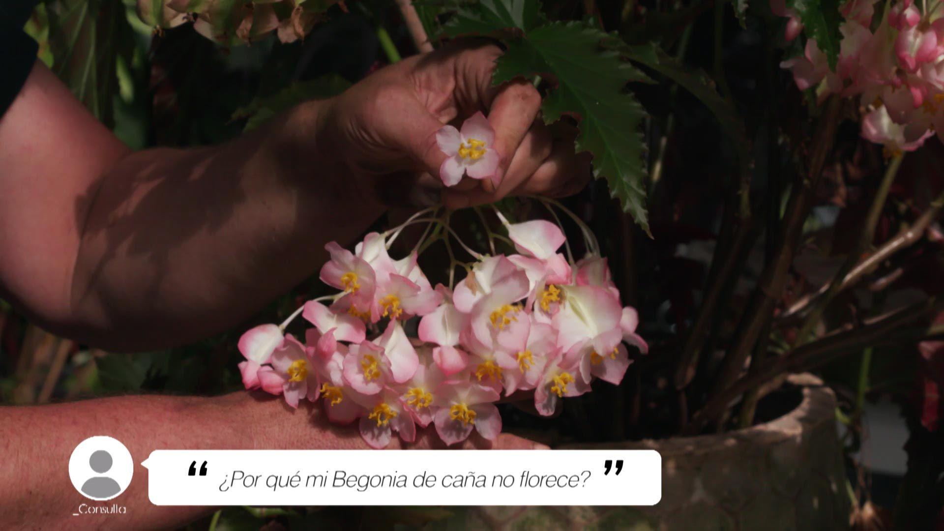 ¿Por qué una Begonia de caña no florece?