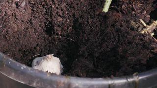 Plantación de ajo