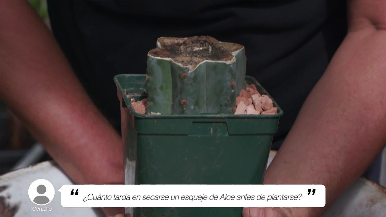 ¿Cuánto tiempo tarda en secarse un esqueje de Áloe antes de plantarse?