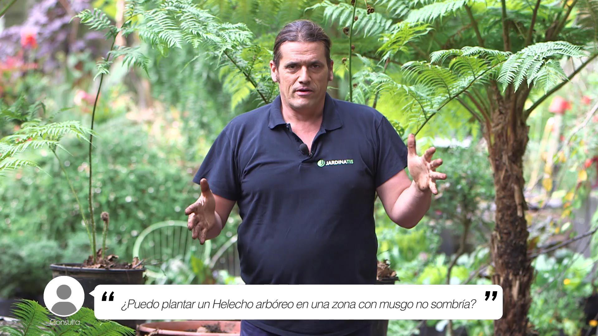 ¿Se puede plantar un Helecho arbóreo en una zona con musgo no sombría?