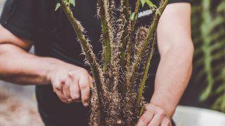 Helecho aéreo Cyathea cooperi: reproducción por hijuelos y características