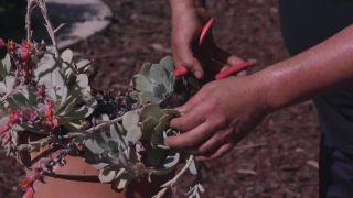 Dos formas de multiplicar plantas crasas
