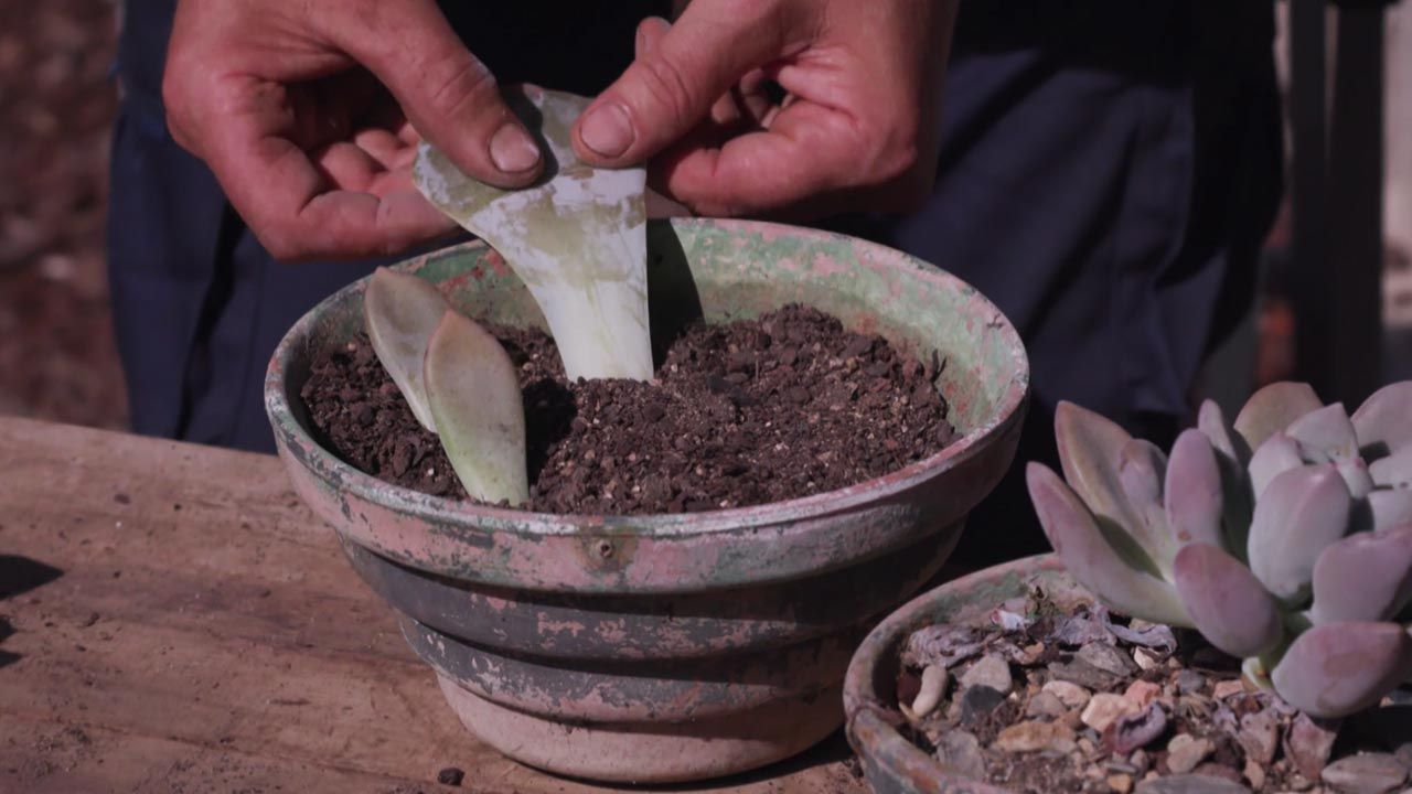 Reproducir plantas por esquejes de hoja