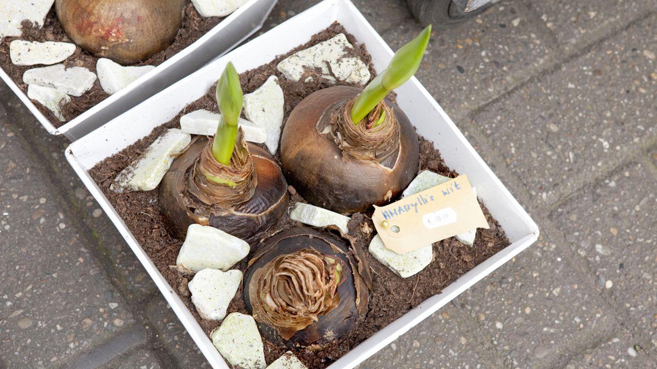 Cultivo de la planta Amarilis