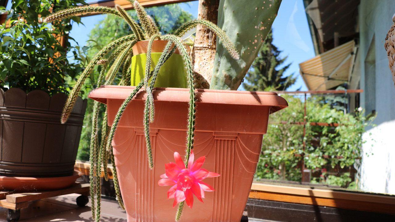 cactus  rasta