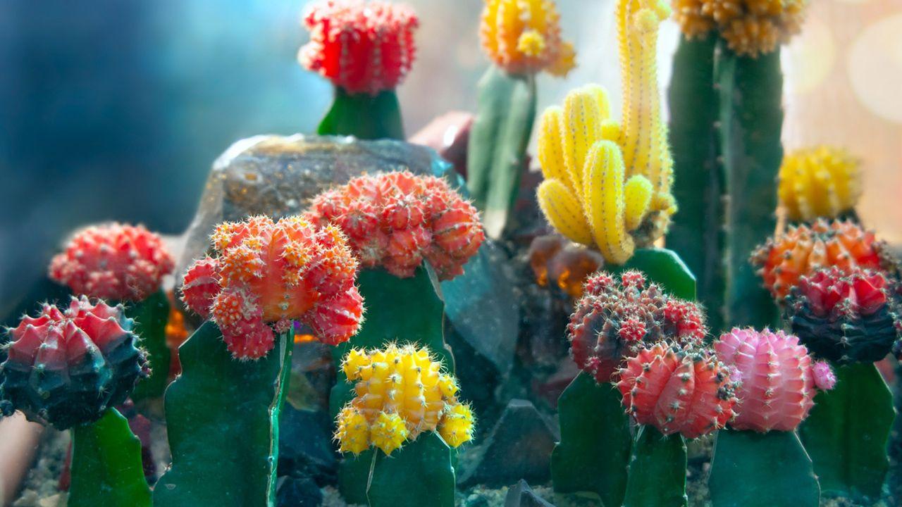 Cactus injertado