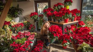 Consejos a la hora de comprar la flor de pascua