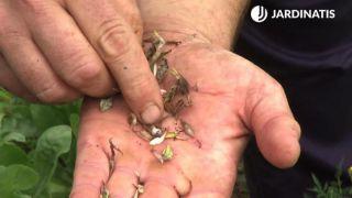 Semillas de la zinnia