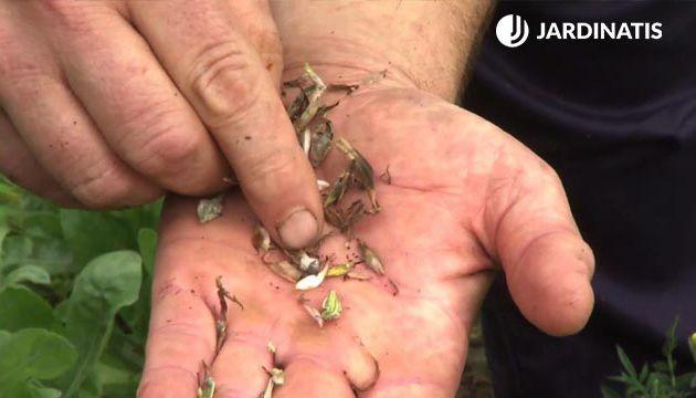 Cuándo cosechar las semillas de las zinnias