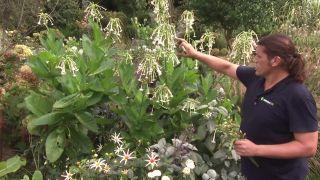 Flores del tabaco silvestre
