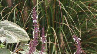 Flores del Plectranthus
