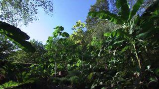 Paulownia tomentosa, ¿el árbol que puede salvar el mundo?