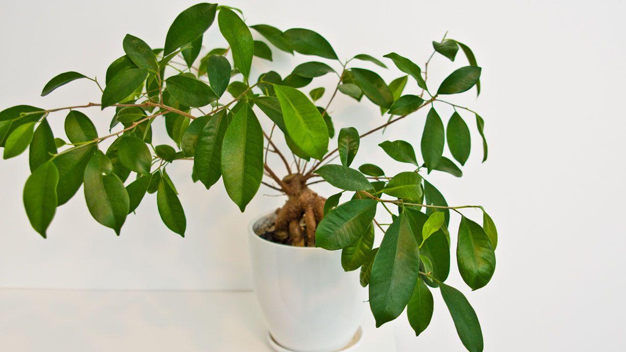 ¿Por qué a un ficus benjamina se le caen las hojas?
