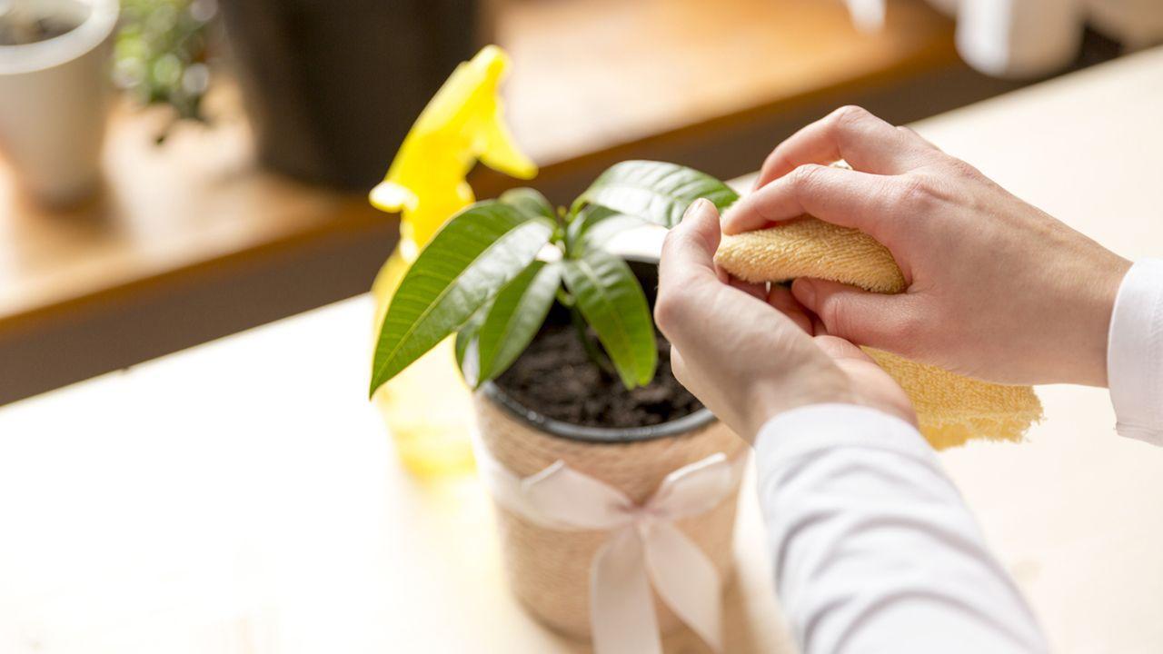 Cómo limpiar y dar brillo a las hojas de plantas de interior